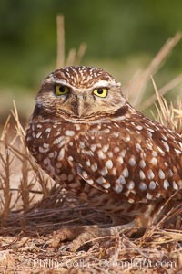 Burrowing owl (Western North American race hypugaea). This 10-inch-tall burrowing owl is standing besides its burrow. These burrows are usually created by squirrels, prairie dogs, or other rodents and even turtles, and only rarely dug by the owl itself, Athene cunicularia, Athene cunicularia hypugaea, Salton Sea, Imperial County, California