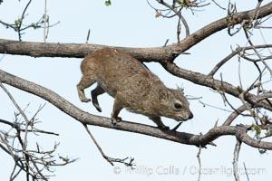 Bush hyrax, or yellow-spotted rock hyrax, Meru National Park, Kenya, Heterohyrax brucei