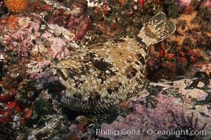 C-O sole (turbot), Pleuronichthys coenosus, Santa Barbara Island