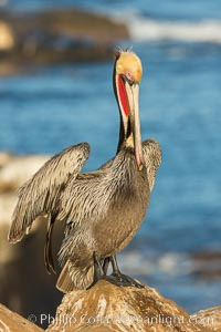 Brown pelican portrait, displaying winter plumage with distinctive yellow head feathers and red gular throat pouch. La Jolla, California, USA, Pelecanus occidentalis, Pelecanus occidentalis californicus, natural history stock photograph, photo id 30409