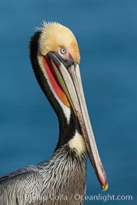 Brown pelican portrait, displaying winter plumage with distinctive yellow head feathers and red gular throat pouch. La Jolla, California, USA, Pelecanus occidentalis, Pelecanus occidentalis californicus, natural history stock photograph, photo id 30420