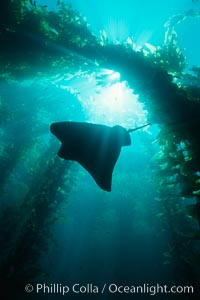 California bat ray and kelp canopy. San Clemente Island, California, USA, Myliobatis californica, natural history stock photograph, photo id 00265