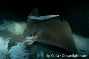California bat ray eating squid eggs, Loligo opalescens, Myliobatis californica, copyright Phillip Colla Natural History Photography, www.oceanlight.com, image #01243, all rights reserved worldwide.