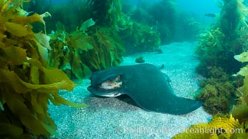 California bat ray, laying on sandy ocean bottom amid kelp and rocky reef, Myliobatis californica, San Clemente Island