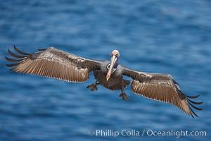 Brown pelican in flight, spreading its large wings wide to slow before landing on seacliffs, Pelecanus occidentalis, Pelecanus occidentalis californicus, La Jolla, California