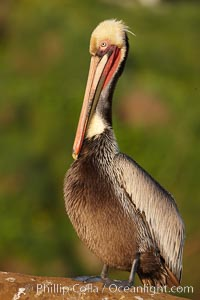 Brown pelican portrait, displaying winter breeding plumage with distinctive dark brown nape, yellow head feathers and red gular throat pouch. La Jolla, California, USA, Pelecanus occidentalis, Pelecanus occidentalis californicus, natural history stock photograph, photo id 22532