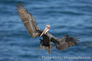 Brown pelican spreads its enormous wings to slow before landing on seaside cliffs.  Brown pelicans appear awkward but in fact are superb and efficient fliers, ranging far over the ocean in search of fish to dive upon.  They typically nest on offshore islands and inaccessible ocean cliffs.  The California race of the brown pelican holds endangered species status.  In winter months, breeding adults assume a dramatic plumage, Pelecanus occidentalis, Pelecanus occidentalis californicus, La Jolla