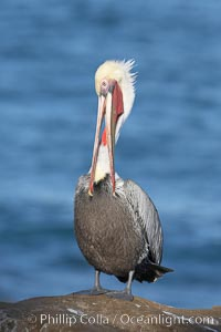 Brown pelican preening.  After wiping its long beak on the uropygial gland near the base of its tail, the pelican spreads the preen oil on feathers about its body, helping to keep them water resistant, an important protection for a bird that spends much of its life diving in the ocean for prey.  Adult winter non-breeding plumage showing white hindneck and red gular throat pouch, Pelecanus occidentalis, Pelecanus occidentalis californicus, La Jolla, California