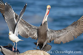 Brown pelican slows to land, spreading its large wings wide to brake and forcing a seagull to desert its clifftop spot, Pelecanus occidentalis, Pelecanus occidentalis californicus, La Jolla, California