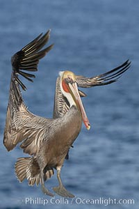 Brown pelican slows to land, spreading its large wings wide to brake, Pelecanus occidentalis, Pelecanus occidentalis californicus, La Jolla, California