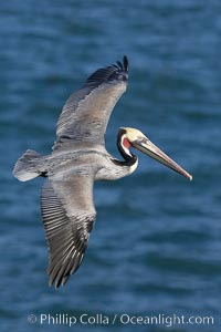 California brown pelican in flight, soaring over the ocean with its huge wings outstretched.  Adult winter breeding plumage.  The wingspan of the brown pelican can be over 7 feet wide. The California race of the brown pelican holds endangered species status.  Adult winter breeding plumage showing brown hindneck and red gular throat pouch, Pelecanus occidentalis, Pelecanus occidentalis californicus, La Jolla