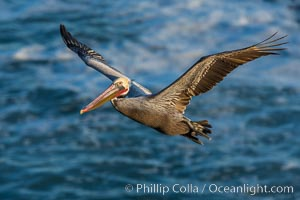 California brown pelican in flight. The wingspan of the brown pelican is over 7 feet wide. The California race of the brown pelican holds endangered species status. In winter months, breeding adults assume a dramatic plumage, Pelecanus occidentalis, Pelecanus occidentalis californicus, La Jolla