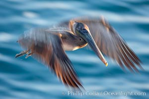 Brown pelican in flight.  The wingspan of the brown pelican is over 7 feet wide. Long exposure shows motion as a blur. The California race of the brown pelican holds endangered species status.  In winter months, breeding adults assume a dramatic plumage with dark brown hindneck and bright red gular throat pouch., Pelecanus occidentalis, Pelecanus occidentalis californicus,  Copyright Phillip Colla, image #15136, all rights reserved worldwide.