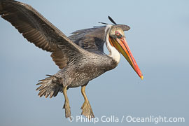 Brown pelican in flight.  The wingspan of the brown pelican is over 7 feet wide. The California race of the brown pelican holds endangered species status.  In winter months, breeding adults assume a dramatic plumage., Pelecanus occidentalis, Pelecanus occidentalis californicus,  Copyright Phillip Colla, image #15139, all rights reserved worldwide.