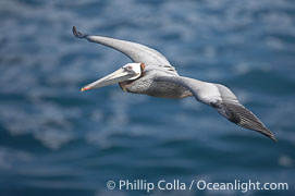 Brown pelican in flight.  The wingspan of the brown pelican is over 7 feet wide. The California race of the brown pelican holds endangered species status.  In winter months, breeding adults assume a dramatic plumage., Pelecanus occidentalis, Pelecanus occidentalis californicus,  Copyright Phillip Colla, image #15148, all rights reserved worldwide.