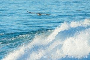 California Brown Pelican flying over a breaking wave, Pelecanus occidentalis, Pelecanus occidentalis californicus, La Jolla