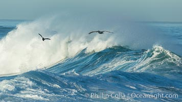 California Brown Pelican flying over a breaking wave. La Jolla, California, USA, Pelecanus occidentalis, Pelecanus occidentalis californicus, natural history stock photograph, photo id 30353