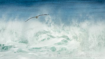 California Brown Pelican flying over a breaking wave, La Jolla