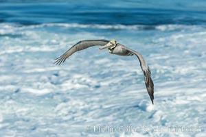 California Brown Pelican flying over sea foam and waves, Pelecanus occidentalis, Pelecanus occidentalis californicus, La Jolla