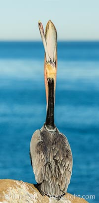 California Brown Pelican head throw, stretching its throat to keep it flexible and healthy. La Jolla, California, USA, Pelecanus occidentalis, Pelecanus occidentalis californicus, natural history stock photograph, photo id 30297