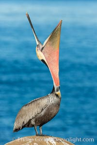 California Brown Pelican head throw, stretching its throat to keep it flexible and healthy. La Jolla, California, USA, Pelecanus occidentalis, Pelecanus occidentalis californicus, natural history stock photograph, photo id 30304
