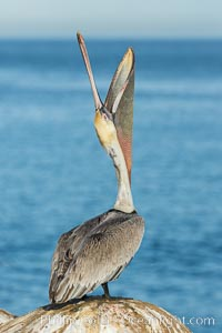 California Brown Pelican head throw, stretching its throat to keep it flexible and healthy. Note the winter mating plumage, olive and red throat, yellow head. La Jolla, California, USA, Pelecanus occidentalis, Pelecanus occidentalis californicus, natural history stock photograph, photo id 30327