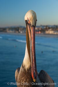 California brown pelican on Oceanside Pier, sitting on the pier railing, sunset, winter, Pelecanus occidentalis, Pelecanus occidentalis californicus