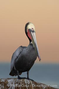 Brown pelican, winter adult breeding plumage, showing bright red gular pouch and dark brown hindneck plumage of breeding adults.  This large seabird has a wingspan over 7 feet wide. The California race of the brown pelican holds endangered species status, due largely to predation in the early 1900s and to decades of poor reproduction caused by DDT poisoning, Pelecanus occidentalis, Pelecanus occidentalis californicus, La Jolla