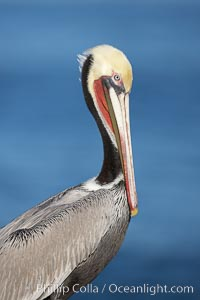 Brown pelican, winter plumage, showing bright red gular pouch and dark brown hindneck colors of breeding adults.  This large seabird has a wingspan over 7 feet wide. The California race of the brown pelican holds endangered species status, due largely to predation in the early 1900s and to decades of poor reproduction caused by DDT poisoning. La Jolla, California, USA, Pelecanus occidentalis, Pelecanus occidentalis californicus, natural history stock photograph, photo id 20075