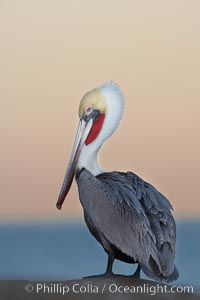 Brown pelican, non-breeding winter plumage.  This large seabird has a wingspan over 7 feet wide. The California race of the brown pelican holds endangered species status, due largely to predation in the early 1900s and to decades of poor reproduction caused by DDT poisoning, Pelecanus occidentalis, Pelecanus occidentalis californicus, La Jolla