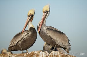 Brown pelicans preening.  After wiping its long beak on the uropygial gland near the base of its tail, the pelican spreads the preen oil on feathers about its body, helping to keep them water resistant, an important protection for a bird that spends much of its life diving in the ocean for prey.  Adult winter non-breeding plumage showing white hindneck, Pelecanus occidentalis, Pelecanus occidentalis californicus, La Jolla, California