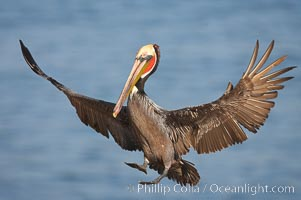 California brown pelican spreads its wings wide as it slows before landing on seacliffs. La Jolla, California, USA, Pelecanus occidentalis, Pelecanus occidentalis californicus, natural history stock photograph, photo id 20268