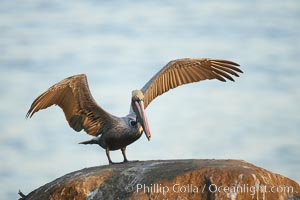 Brown pelican spreads its large wings as it balances on a perch above the ocean, early morning light, displaying adult winter plumage.  This large seabird has a wingspan over 7 feet wide. The California race of the brown pelican holds endangered species status, due largely to predation in the early 1900s and to decades of poor reproduction caused by DDT poisoning, Pelecanus occidentalis, Pelecanus occidentalis californicus, La Jolla