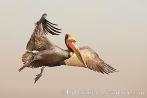 Brown pelican in flight.  The wingspan of the brown pelican is over 7 feet wide. The California race of the brown pelican holds endangered species status.  In winter months, breeding adults assume a dramatic plumage. La Jolla, California, USA, Pelecanus occidentalis, Pelecanus occidentalis californicus, natural history stock photograph, photo id 20293