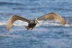 California brown pelican spreads its wings wide as it slows before landing on seacliffs, Pelecanus occidentalis, Pelecanus occidentalis californicus, La Jolla