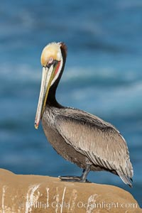 Brown pelican portrait, displaying winter breeding plumage with distinctive dark brown nape, yellow head feathers and red gular throat pouch. La Jolla, California, USA, Pelecanus occidentalis, Pelecanus occidentalis californicus, natural history stock photograph, photo id 29087
