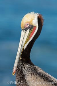 Brown pelican portrait, displaying winter breeding plumage with distinctive dark brown nape, yellow head feathers and red gular throat pouch. La Jolla, California, USA, Pelecanus occidentalis, Pelecanus occidentalis californicus, natural history stock photograph, photo id 29088