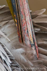 California brown pelican preening, Pelecanus occidentalis, Pelecanus occidentalis californicus, La Jolla