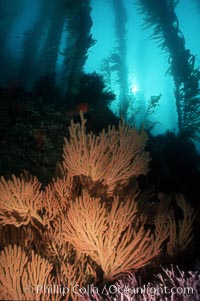 California Golden gorgonian in kelp forest. San Clemente Island, California, USA, Muricea californica, Macrocystis pyrifera, natural history stock photograph, photo id 01043