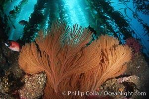 California Golden gorgonian in kelp forest, Muricea californica, Macrocystis pyrifera, San Clemente Island