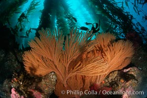 California Golden gorgonian in kelp forest, Muricea californica, Macrocystis pyrifera, San Clemente Island