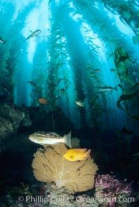 Gorgonian, garibaldi, kelp bass (calico bass) in kelp forest, San Clemente I, Muricea californica, Hypsypops rubicundus, Macrocystis pyrifera, San Clemente Island