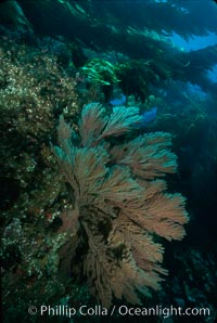 California Golden gorgonian in kelp forest. San Clemente Island, California, USA, Muricea californica, Macrocystis pyrifera, natural history stock photograph, photo id 02527