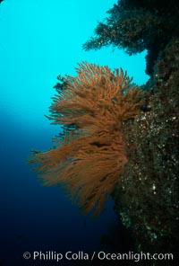 California Golden gorgonian. San Clemente Island, California, USA, Muricea californica, natural history stock photograph, photo id 02528