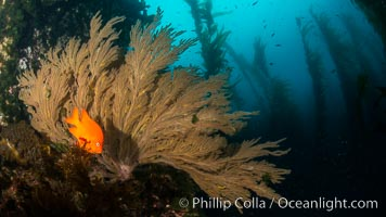 Garibaldi and California golden gorgonian on underwater rocky reef, San Clemente Island. The golden gorgonian is a filter-feeding temperate colonial species that lives on the rocky bottom at depths between 50 to 200 feet deep. Each individual polyp is a distinct animal, together they secrete calcium that forms the structure of the colony. Gorgonians are oriented at right angles to prevailing water currents to capture plankton drifting by, Hypsypops rubicundus, Muricea californica