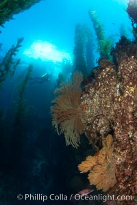 Gorgonians grow on rocky reef, kelp forest and a white boat floating on the surface can be seen in the background, underwater, Muricea californica, San Clemente Island