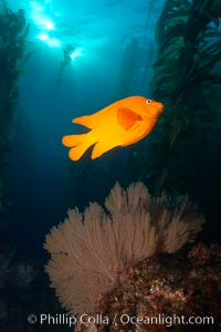 Garibaldi and golden gorgonian, underwater in kelp forest. San Clemente Island, California, USA, Muricea californica, Hypsypops rubicundus, natural history stock photograph, photo id 23465