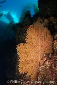 California golden gorgonian on rocky reef, below kelp forest, underwater.  The golden gorgonian is a filter-feeding temperate colonial species that lives on the rocky bottom at depths between 50 to 200 feet deep.  Each individual polyp is a distinct animal, together they secrete calcium that forms the structure of the colony. Gorgonians are oriented at right angles to prevailing water currents to capture plankton drifting by, Muricea californica, San Clemente Island