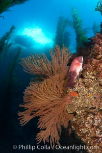 Gorgonians grow on rocky reef, kelp forest and a white boat floating on the surface can be seen in the background, underwater, Muricea californica, Semicossyphus pulcher, San Clemente Island