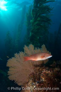 Sheephead and golden gorgonian, underwater in a kelp forest. San Clemente Island, California, USA, Muricea californica, Semicossyphus pulcher, natural history stock photograph, photo id 23586